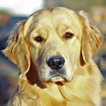 sherwood goldens angel girls page