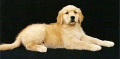 sherwood golden retrievers