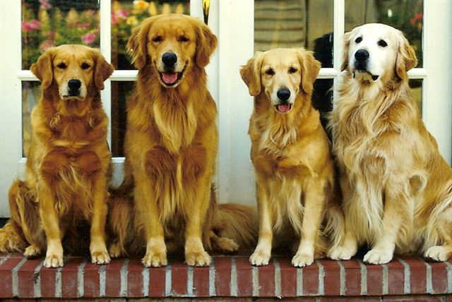 sherwood goldens