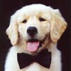 golden retrievers idaho, golden retriever breeders idaho, golden retriever puppies idaho, dog training, sherwood golden retrievers, golden retriever stud dogs, tagi bowtie