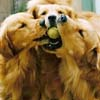 sherwood goldens dog training